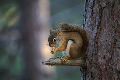 Tasty treat (JD~PHOTOGRAPHY) Tags: redsquirrel animal wild wildanimal northamericanwildlife wildlife squirrel red tree mammal