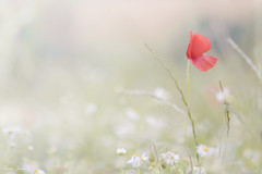 Poppy (Karen James) Tags: poppy highkey daisy grass kj