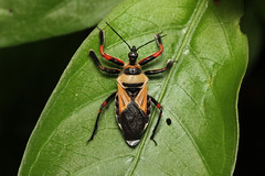 Reduviidae, Apiomerus sp. (Assassin Bug) - Costa Rica (Nick Dean1) Tags: reduviidae assassinbug assassin hemiptera insect insecta animalia arthropoda arthropod hexapoda hexapod guanacaste costarica lacruz canascastilla apiomerus