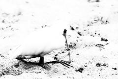 Gotcha! (kceuppens) Tags: lepelaar spoonbill bird vogel captive gevangen savanne zoovanantwerpen zoo antwerp antwerpen dierentuin nikond700 nikon d700 nikkor nikkor80400afsvr blackandwhite black white