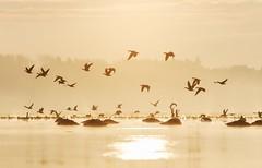 Bonds. (K16mix) Tags: japan izunuma miyagi kurihara swan wildlife wildbird wildgoose lake water fly eaafp ramsarconvention winter morning bird nature