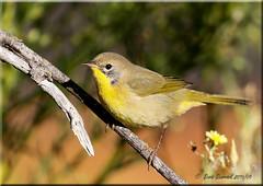 'elusive' (d-lilly) Tags: commonyellowthroat lakesolano solanocounty solanocountybirds songbird california canon7dmarkll northerncalifornia