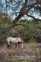 Pinto Horse Vertical