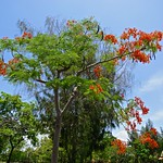 Tree with red blossoms in Muang Boran (Ancient Siam) in Samut Prakan, Thailand thumbnail