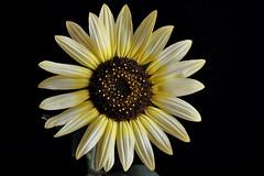 Sunflower Helianthus annuus also known as Sunflower Italian white (natureloving) Tags: flower macro nature nikon d90 helianthusannuus afsvrmicronikkor105mmf28gifed natureloving flowersinfrance flowersineurope fleursenfrance sunfloweritalianwhite