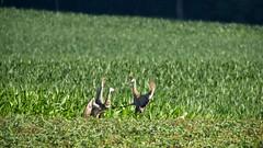 Your Kung Fu is No Match For Mine! (Eric Shwonek) Tags: nature birds outdoors wildlife cranes oconomowoc sandhillcranes birdsofwisconsin shwonek
