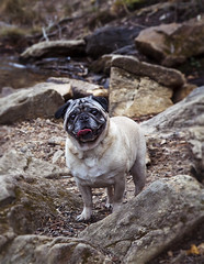 (aphtyrkat) Tags: dog pug outdoor pets georgia
