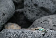 Lizard (Tim Bow Photography) Tags: timbowphotography travel holiday spain lanzarote canaryislands lava rock dark light timboss81 world visit adventure discover lizard reptile blue skin detail macro creature focus depthoffield