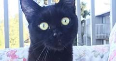 Meet Azhara via http://ift.tt/29KELz0 (dozhub) Tags: cat kitty kitten cute funny aww adorable cats