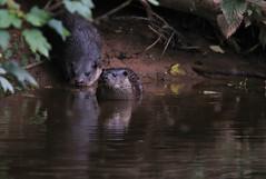 European Otter, Lutra lutra (3) (Geckoo76) Tags: otter lutralutra europeanotter