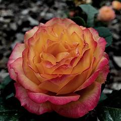 Rosa (Jess 56) Tags: flowers roses flores flower fleur rose fleurs flor rosa blumen fiori  fiore bulaklak flors iek