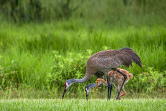 Our Resident Sandhill Cranes (brerwolfe) Tags: adolescent centralflorida chick clermont crane cranes florida floridawildlife home nature neighbors sandhillcrane sandhillcranes wildlife youth baby family