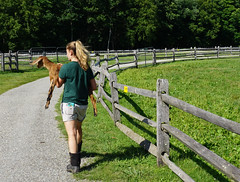 2016 - 07 - 17 - Gotcha (Mississippi Snopes) Tags: summer woman girl boots blonde ponytail jeanshorts younglady mountainmeadows manchestervermont chasingbabygoats