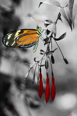 A black and white life... (LightRapsody) Tags: butterfly e rosso colori bianco nero farfalla profilo