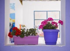 Potted Flowers (esercakarlar) Tags: pottedflowers street bozcaada