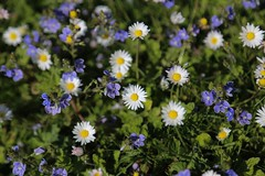 Purple and White (smitchelrific) Tags: alnmouth spring daisy flowers white purple