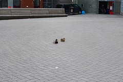 Ducks (Michiel2005) Tags: holland bird netherlands animal leiden duck nederland dier eend vogel bargelaan