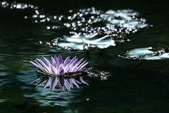 ~~ / Lotus~Thinking~ (pcw9478) Tags: goldcollection