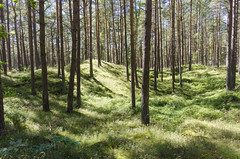 Hilly grassland forest (piropiro3) Tags: wald karlshagen usedom germany forest woods natur nature hgelig hilly sunny sonnig