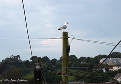 I'm the king of the telegraph pole (karenblakeman) Tags: seagull bird telegraphpole telephonewires penryn cornwall uk july 2016