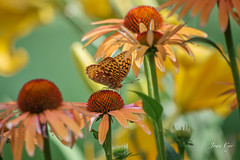 butterfly on echinacea (just joani) Tags: butterflies butterfly coneflower echinacea nature wildlife insect