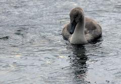 Mute Swan & 3 Cygnets (5) (grahamh1651) Tags: newlyn newlynharbour tolcarne birds seabirds gulls swans waders shorebirds