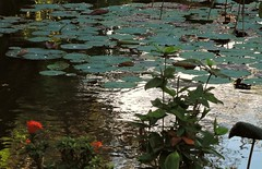 Bali-Lotus floating leaves (ustung) Tags: indonesia bali lotus pond plant leave nikon