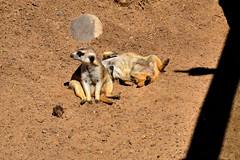 Suricata (maiklopes) Tags: argentina temaikèn temaiken buenosaires escobar zoo nature natureza naturaleza animals animal suricata