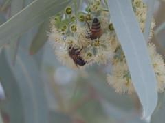 Bees sharing blossom (EllenJo) Tags: pentaxqs1 pentax july27 2016 ellenjo ellenjoroberts
