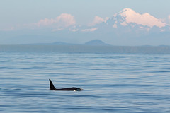 Orca Whale and Mt. Baker (Mick Thompson1) Tags:
