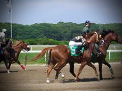 New York July 2008 (Dingerz) Tags: newyork belmontpark horseracing thoroughbred belmontstakes secretariat americanpharaoh