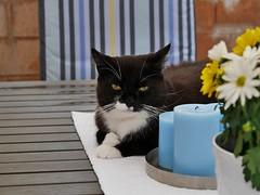 Tussi table-kitty (vanstaffs) Tags: tussi tuzz tuxedogirl tuxedocat t tux tusse tutu tuzz myprettytuxedogirl tussitufsituzzttututussetuffistuffs