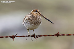 Common Snipe, Gallinago gallinago. (Nigel Blake, 13 MILLION...Yay! Many thanks!) Tags: commonsnipe gallinagogallinago common snipe gallinago nigelblake 7dmkii 7dmk2 600mmf4lis birdphotography nigelblakephotography outerhebrides northuist scotland outer hebrides uist north nigel photography blake nature ornithology bird birds wildlife canon barbed wire rust rusty fence