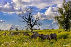 Oostvaardersplassen, Lelystad (wim.kanis) Tags: nederland netherlands wim kanis hdr oostvaardersplassen lelystad nikon d610 landschap nature konikpaarden