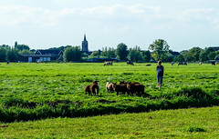 And the boy came to collect his sheep . . (Eduard van Bergen) Tags: home stable empty farm farming apron work life living cattle vee field meadow cows animals rural molenwaard alblasserwaard liesveld classic area suburban silence site agrarical agrarisch nederland dutch holland netherlands niederlande frau antje cheese milk käse outdoor landscape grass plain grassland molen grazen sloot green groen verde grün riet reed treeline bomenrij horizon vista kim roodbont zwartbont lakenvelders tranquility ruhe rust tranquillitatis meadows weide fields sky boy sheep church eglise kirche kerk bube junge kerl