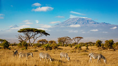 In the shadow of Kilimanjaro (J C Mills Photography) Tags: nationa park kilimanjaro mountain landscape animals zebra volcano snow peak trees acacia tortellis amboseli kenya africa