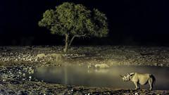 Rhinos in Okaukuejo, Namibia (Adrien Poncet-Montanges) Tags: rhino etosha national park night waterhole camping okaukuejo namibia safari