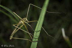 Wingless Scorpionfly (Apterobittacus apterus) (aliceinwl1) Tags: apterobittacus apterobittacusapterus arthropod arthropoda bittacidae ca california hangingflies insect insecta mecoptera scorpionfly solanocounty winglessscorpionfly apterus locpublic viseveryone
