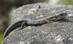 Common Lizard (Daniel Langhammer) Tags: sweden lizard gotland ödla commonlizard zootocavivipara skogsödla