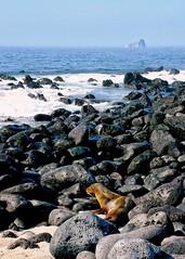 Beautiful life at Galapagos islands! (ganagafoto) Tags: sea southamerica america islands ecuador travels mare galapagos seal viaggi foca sudamerica isole ganagafoto