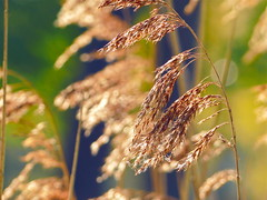 Reed in the Sun (broombesoom) Tags: morning sun reed germany deutschland gold golden spring wind bokeh sunny sonnig sonne schilf frhling morgens