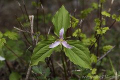 """Trillium • <a style=""""font-size:0.8em;"""" href=""""http://www.flickr.com/photos/63501323@N07/17728053312/"""" target=""""_blank"""">View on Flickr</a>"""