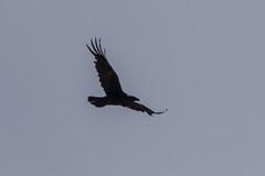 Common raven (katyarud) Tags: bird birds israel  hermon corvuscorax  passeriformes corvidae commonraven