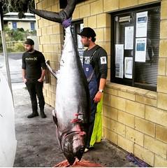 Tony Beswick with this beauty in Tasmania. #stormlinegear #photocontest #tuna #Stormline #tasmania