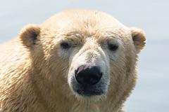 Polar Bears Think Deep Thoughts (John Greg Jr) Tags: columbus ohio usa animals zoo unitedstates polarbear mammals carnivores columbuszooaquarium camera:make=nikoncorporation exif:make=nikoncorporation exif:lens=15005000mmf5063 exif:aperture=ƒ80 camera:model=nikond7100 exif:model=nikond7100 exif:isospeed=140 exif:focallength=230mm