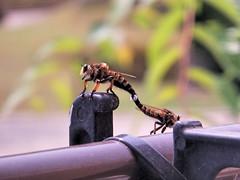 nature is metal (kinkicycle.com) Tags: nature japan wasp bee nara