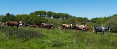 LARRESSORE (Xaypp) Tags: paysbasque nature soleil paysage larressore btail vache champs
