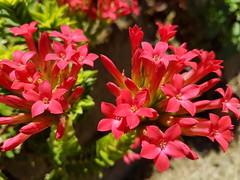 Campanillas (angelcesarespa) Tags: flowers naturaleza flores samsung macrofotografa