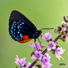 Atala (jt893x) Tags: 105mm afsvrmicronikkor105mmf28gifed atala butterfly d810 eumaeusatala insect jt893x macro nikon