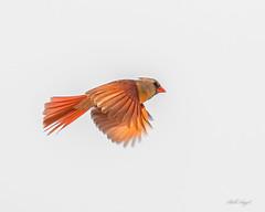 FEMALE CARDINAL-0143 (billangel77) Tags: female cardinal